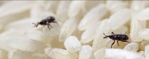 gorgojos en el arroz