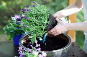 transplantar para eliminar moscas de las plantas